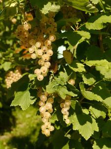 Bee01 T in Zeit für Beeren...