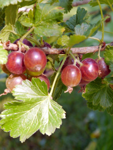 Bee04 T in Zeit für Beeren...