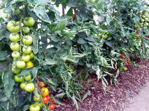 Gartentomaten T in Ernte